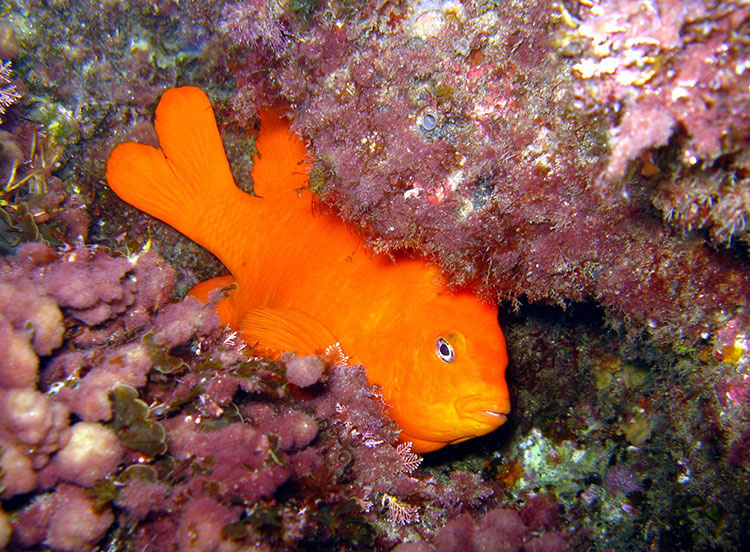 Garibaldi; Night Diving; Casino Point Dive Park; Catalina Island; Avalon; California