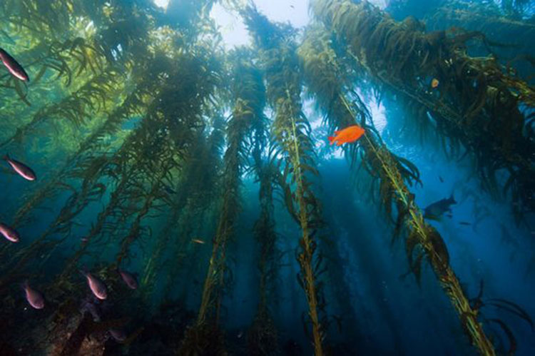 Kelp Forest; Casino Point Dive Park; Catalina Island; Avalon; California
