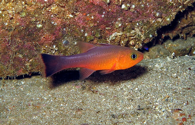 Guadalupe Cardinafish; Casino Point Dive Park; Catalina Island; Avalon; California