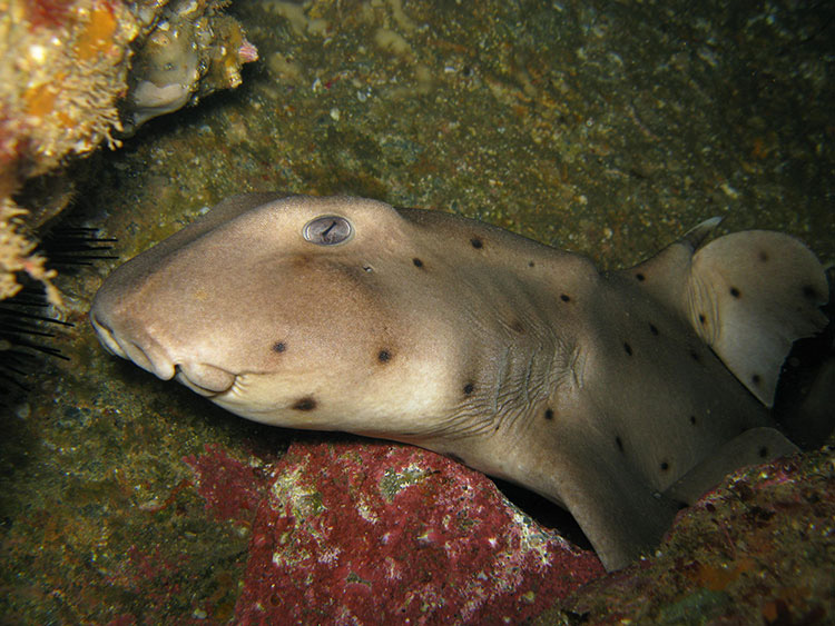Horn Shark; Casino Point Dive Park; Catalina Island; Avalon; California