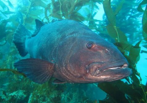 Giant Seabass; Black Seabass; Casino Point Dive Park; Catalina Island; Avalon; California