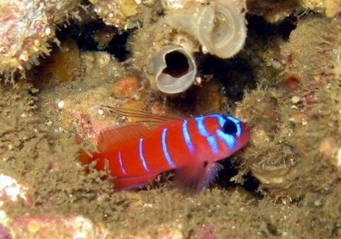 Bluebanded Goby; Casino Point Dive Park; Catalina Island; Avalon; California