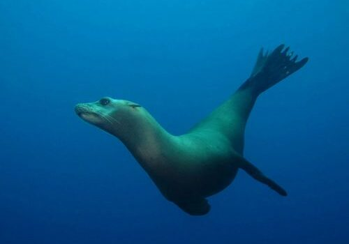 California Sea Lion; Casino Point Dive Park; Catalina Island; Avalon; California