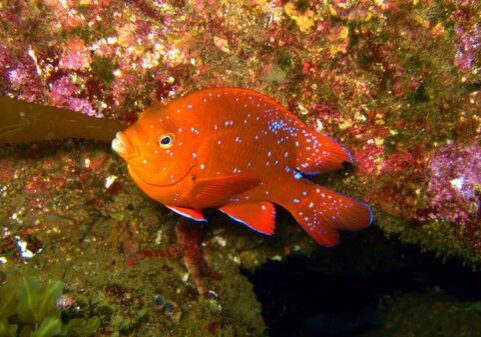 Juvenile Garibaldi; Casino Point Dive Park; Catalina Island; Avalon; California