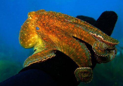 Two-Sopt Octopus; Casino Point Dive Park; Catalina Island; Avalon; California